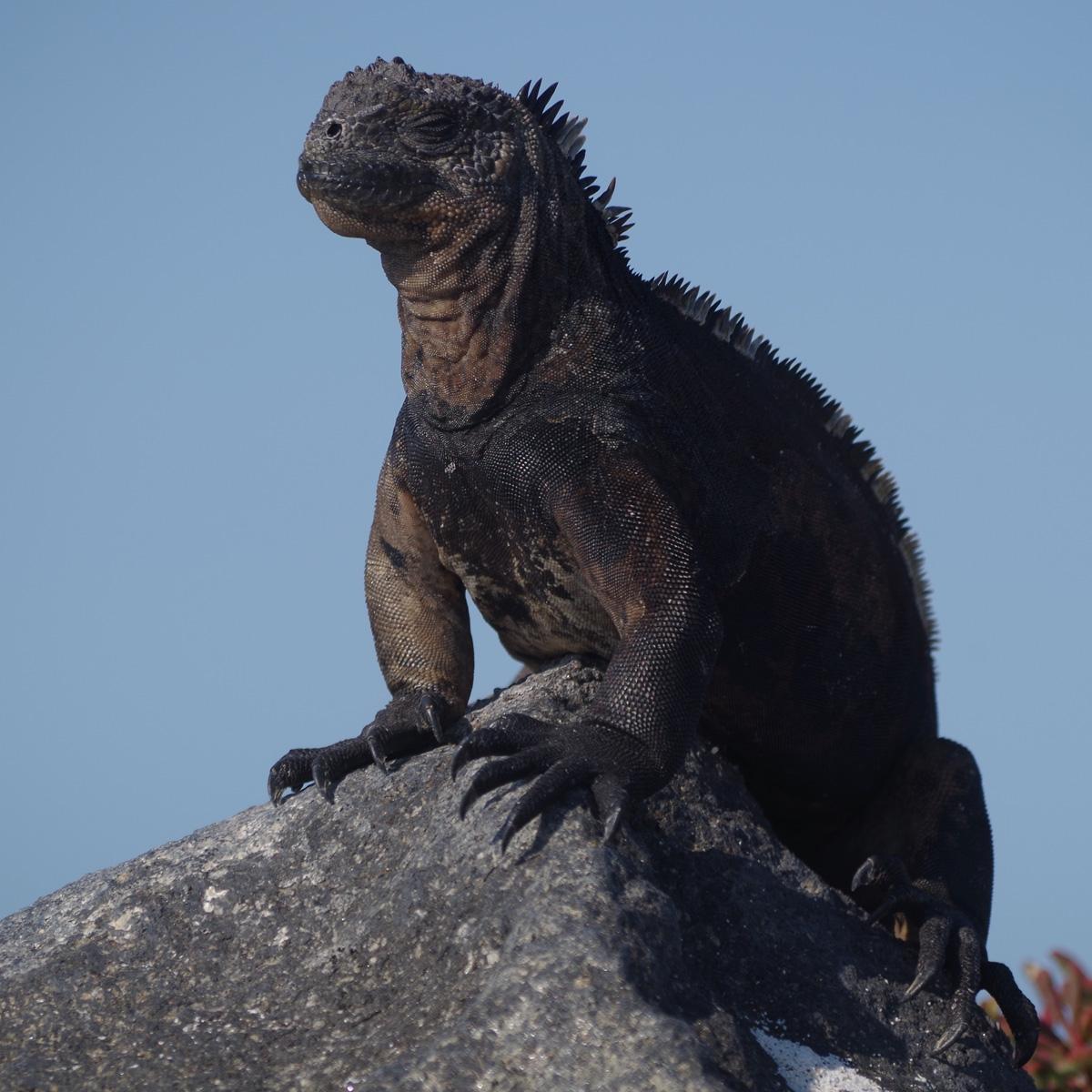 Leguan Galapagos / (c) Pia Adamsen