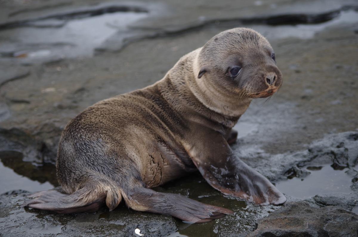 Søløveunge Galapagos / (c) Pia Adamsen