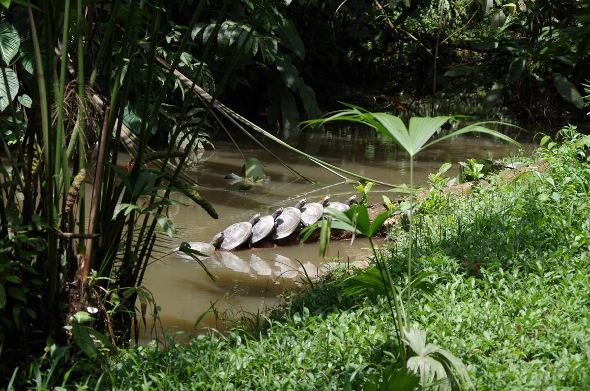 Sumpskilpadder Amazonas Ecuador / (c) Pia Adamsen